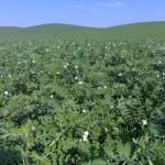 Las legumbres contra la contaminación por nitratos