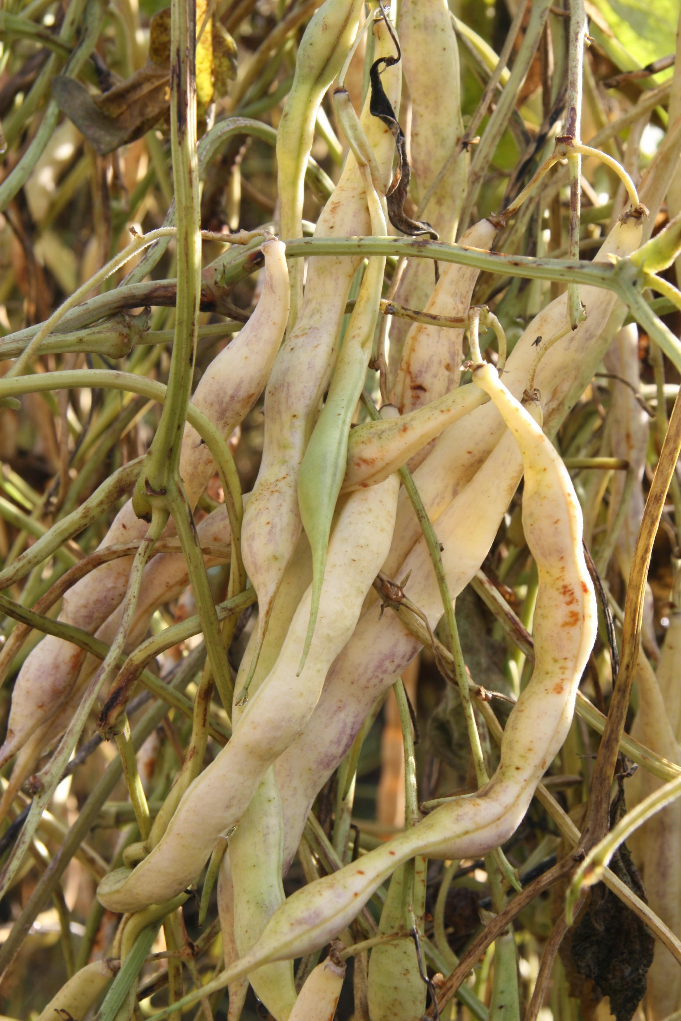 cosecha legumbres