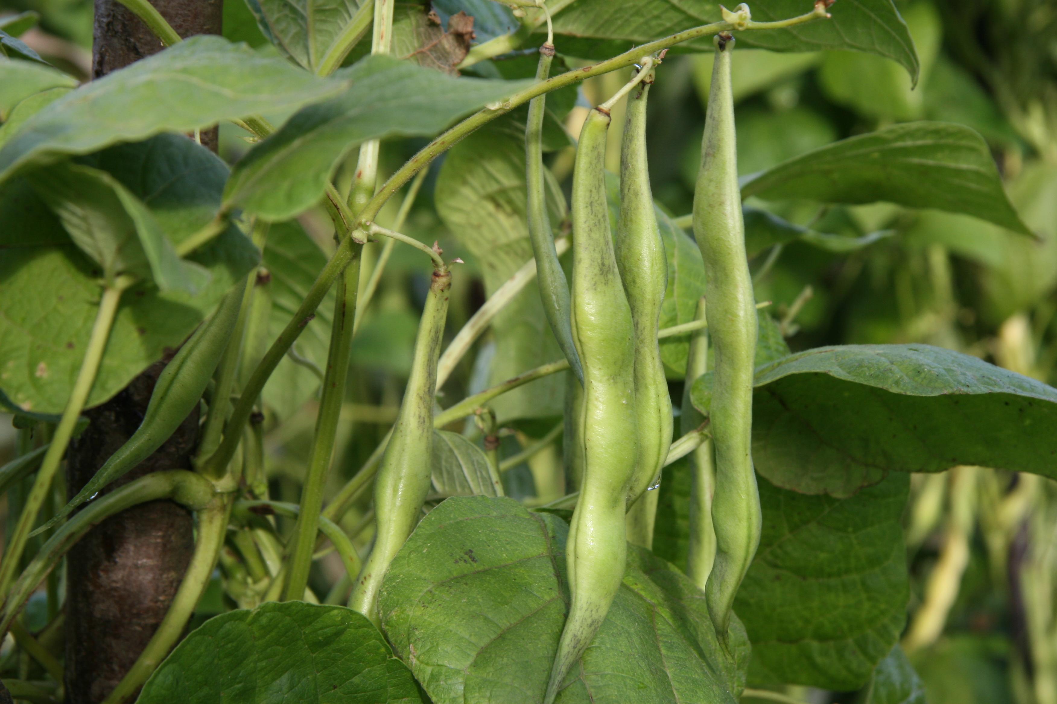 legumbre rama